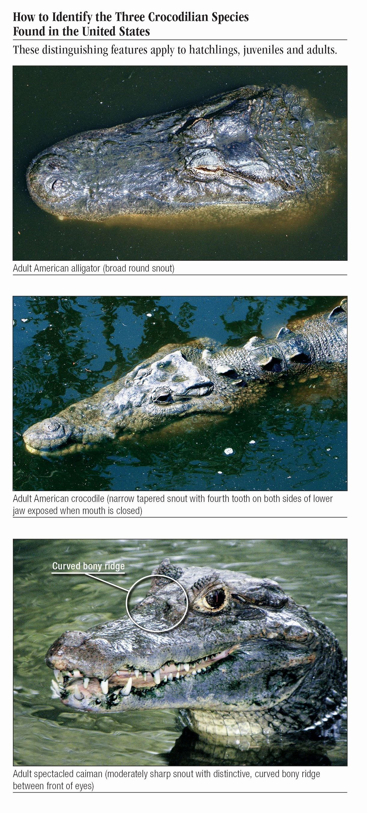 5a2a82924 Alligator of the Southern United States – Quick Reference Publishing